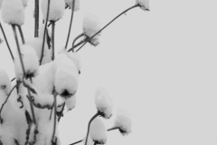 Snow Coneflower