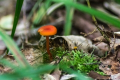 Tiny Orange Mushroom