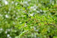 Wild Mulberries
