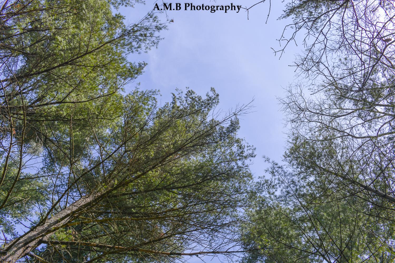 Pine Up II