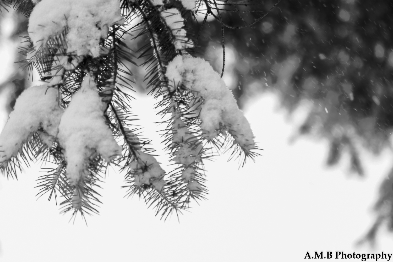 Snowy Spruce II