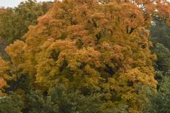 Autumn Tree II
