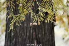 Bald Cypress II