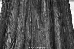 Bald Cypress Trunk