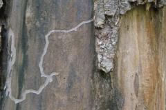 Bark Vein