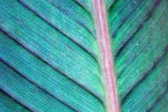 Calla Lily Leaf II