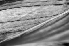 Calla Lily Leaf V