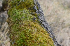 Leading line photo of moss growing along a fallen, suspended tree.