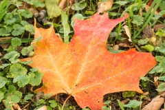 Red-Orange Maple Leaf
