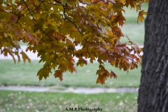 Red Sugar Maple Leaves II