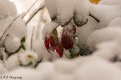 Snow Covered Burning Bush III