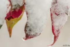 Snow Covered Burning Bush