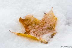 Snow Covered Maple Leaf