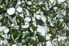 Snow Covered Shrub