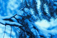 Snowy Spruce III