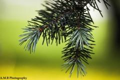 Spring Spruce II