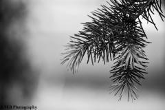 Spring Spruce III