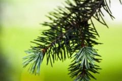 Spring Spruce IV