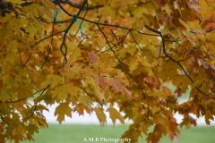 Sugar Maple Leaves II