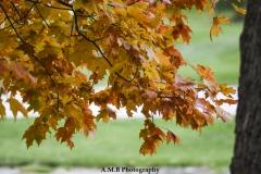 Sugar Maple Leaves III