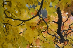 Sugar Maple in the Fall