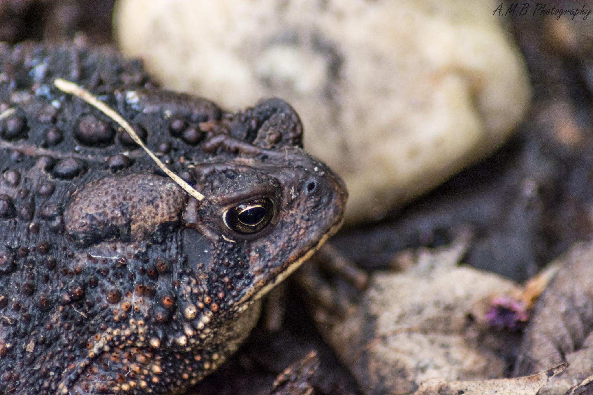 American Toad III