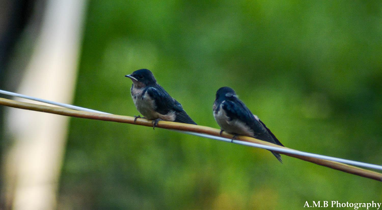 Barn Swallow Babies