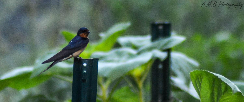 Barn Swallow V