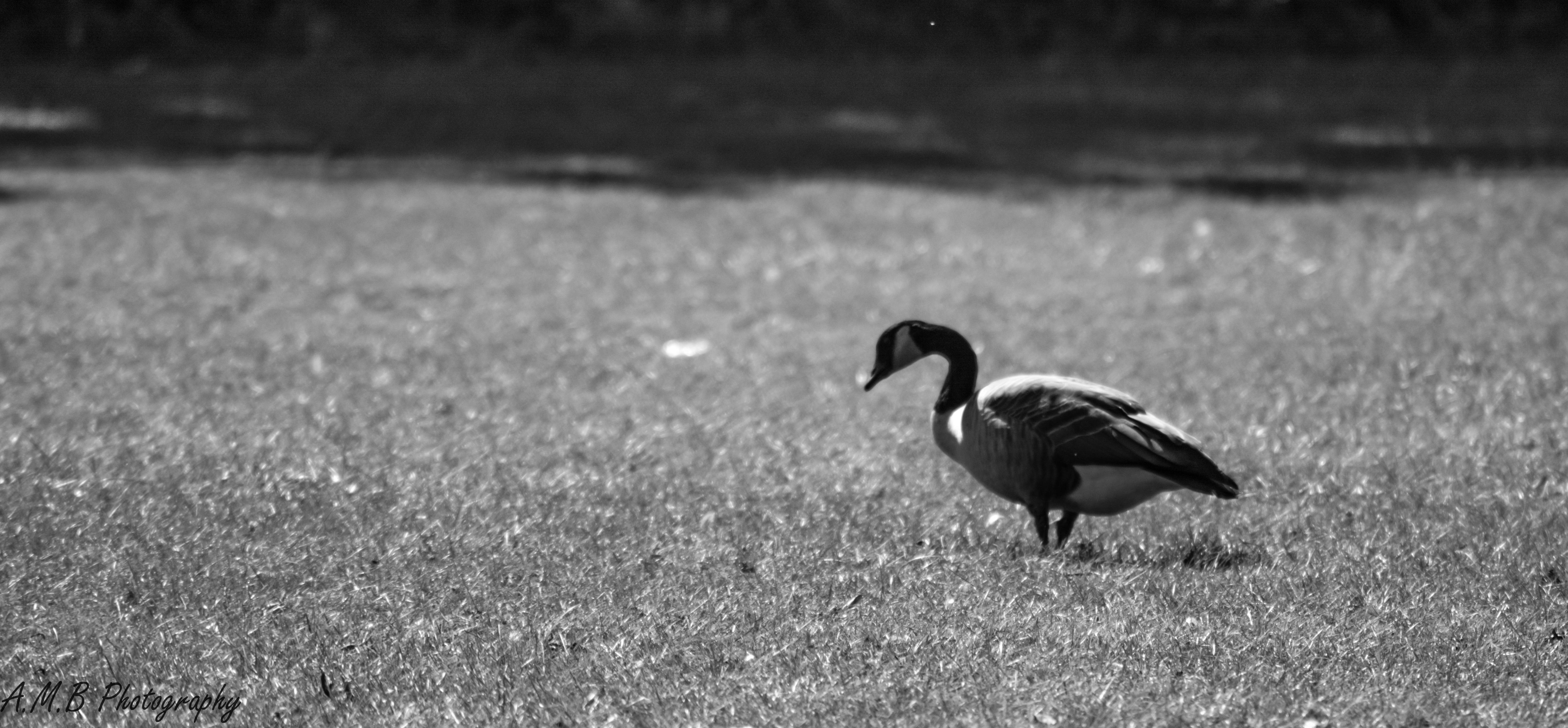Canadian Geese in Busse Woods II