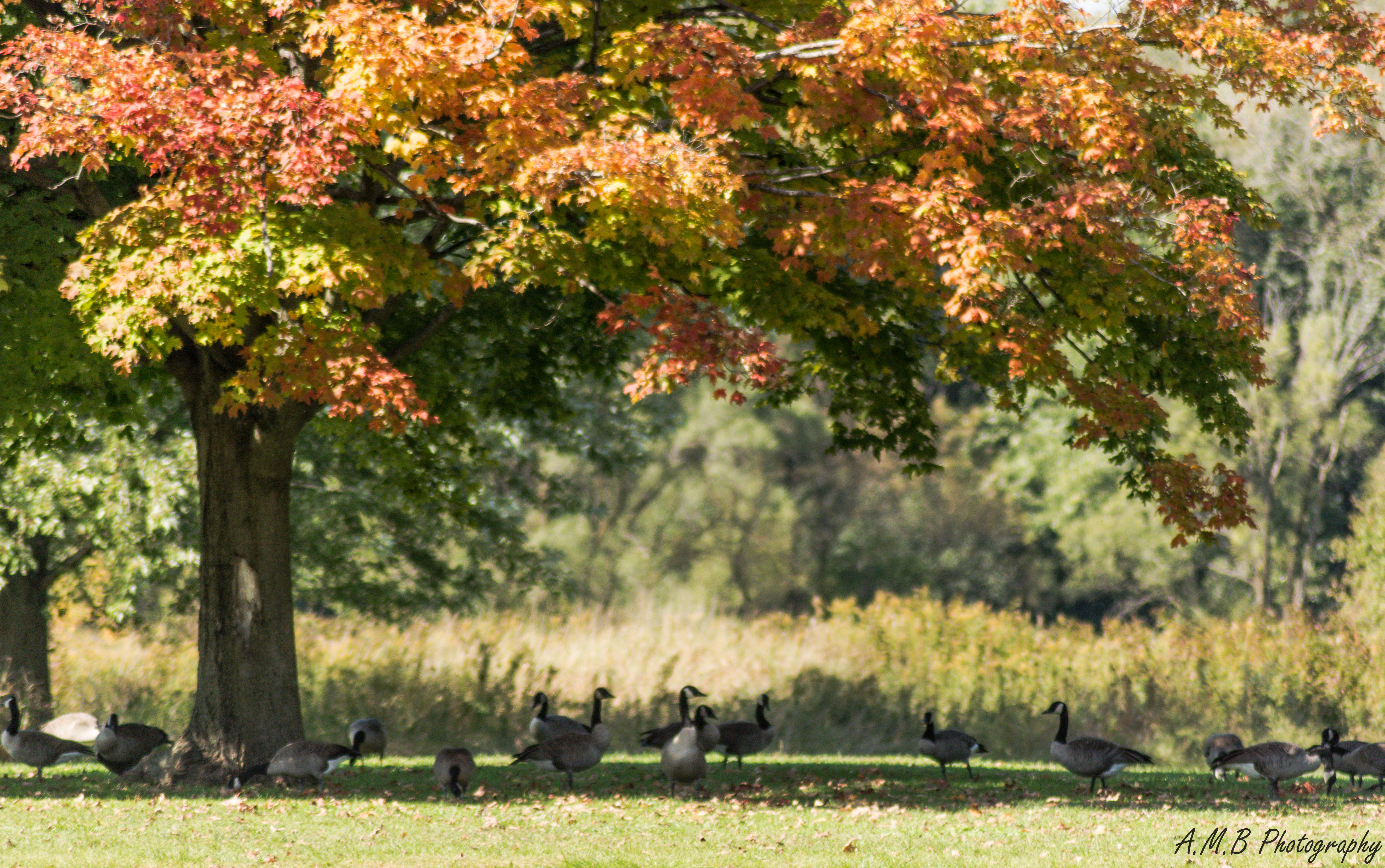 Canadian Geese in Busse Woods VII