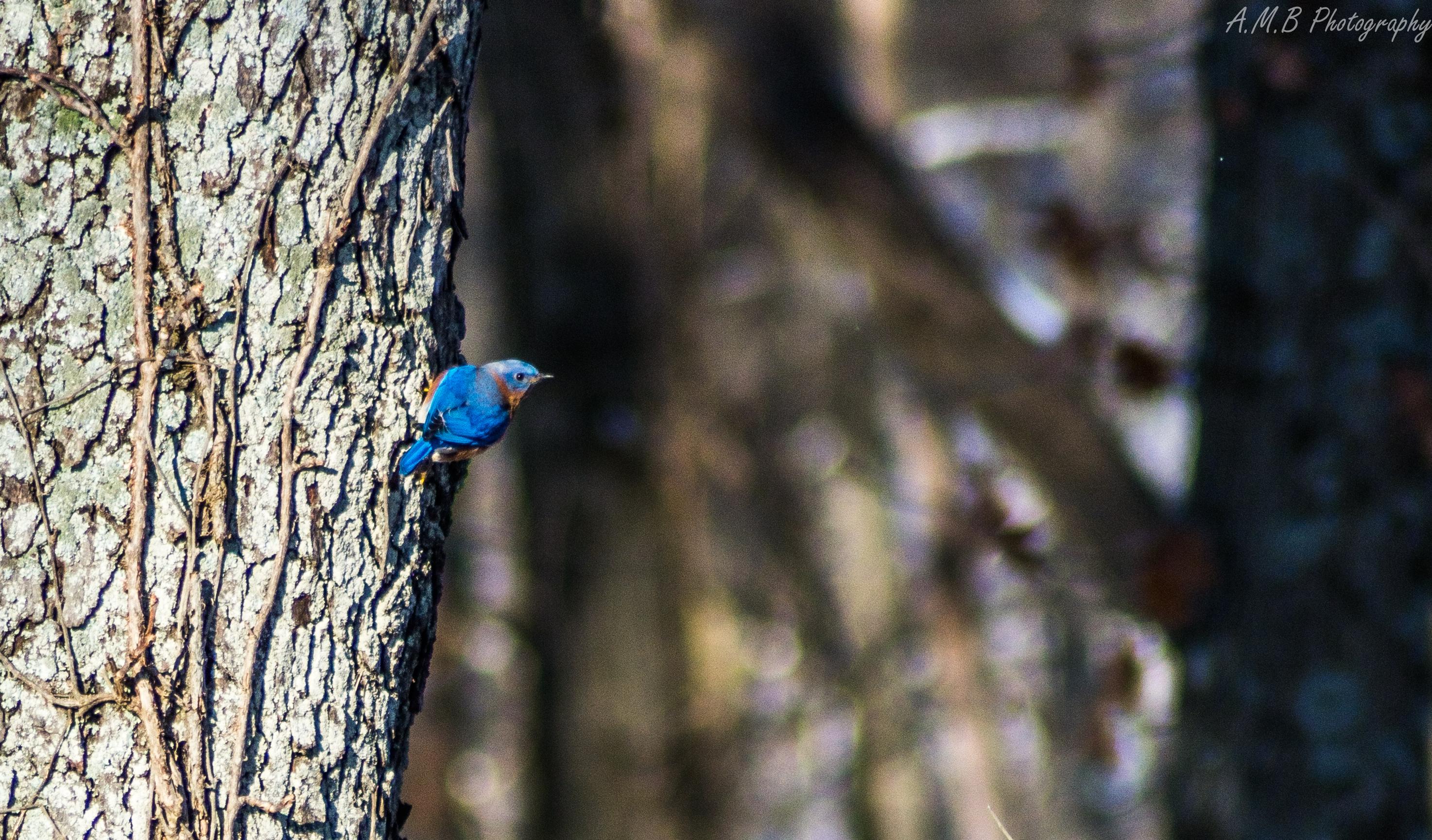 Eastern Bluebird II