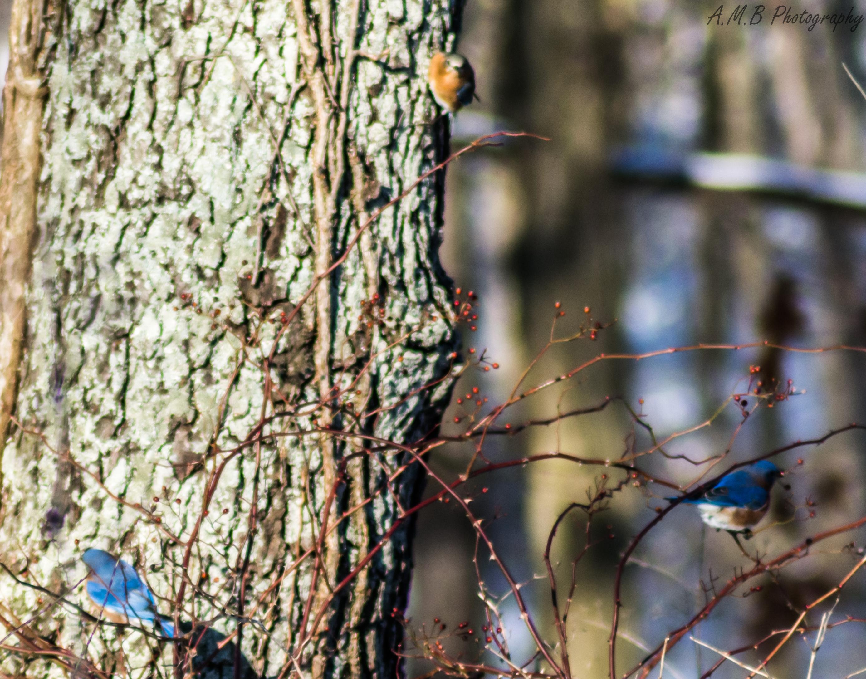 Flock of Eastern Bluebirds