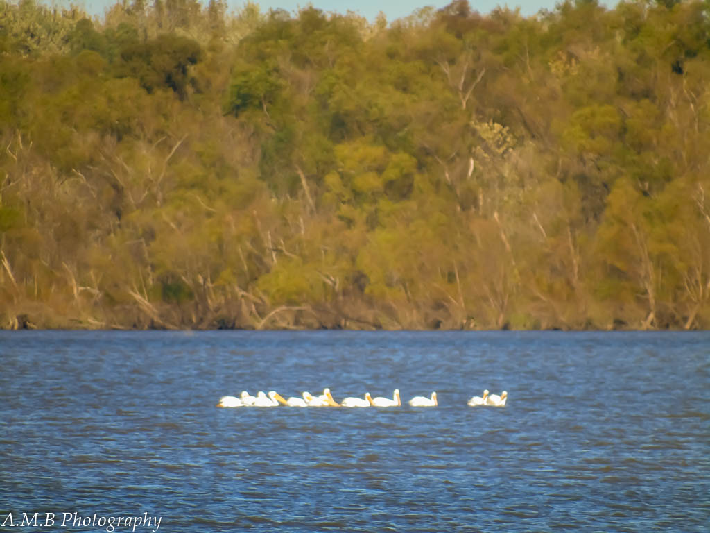 Fowl from Afar - White pelicans on the Illinois River from far away, near Peoria, IL.