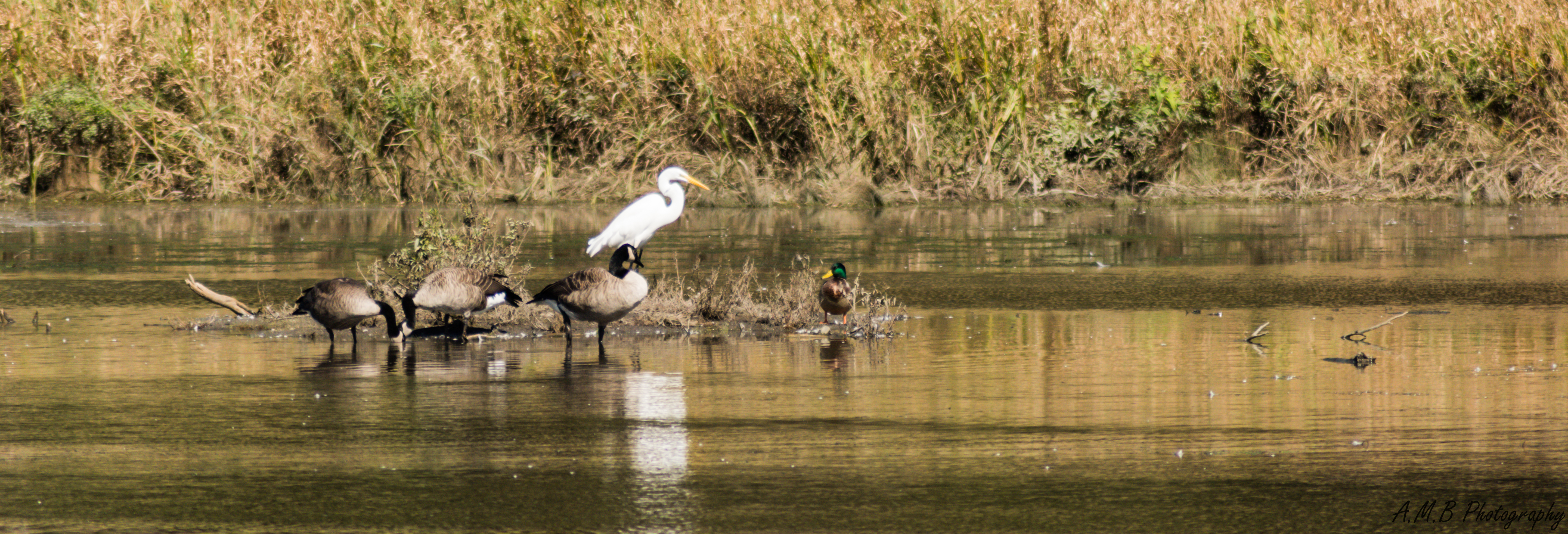 Great White Heron and Canadian Geese plus One in Busse Woods