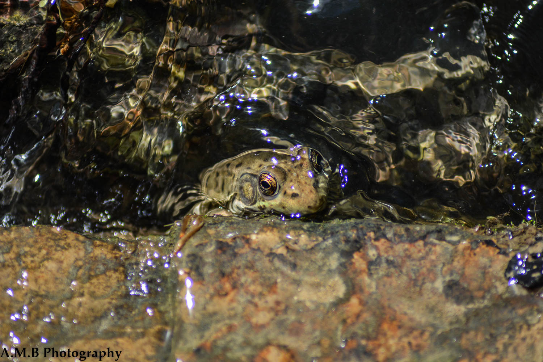 Matthiessen Frog II