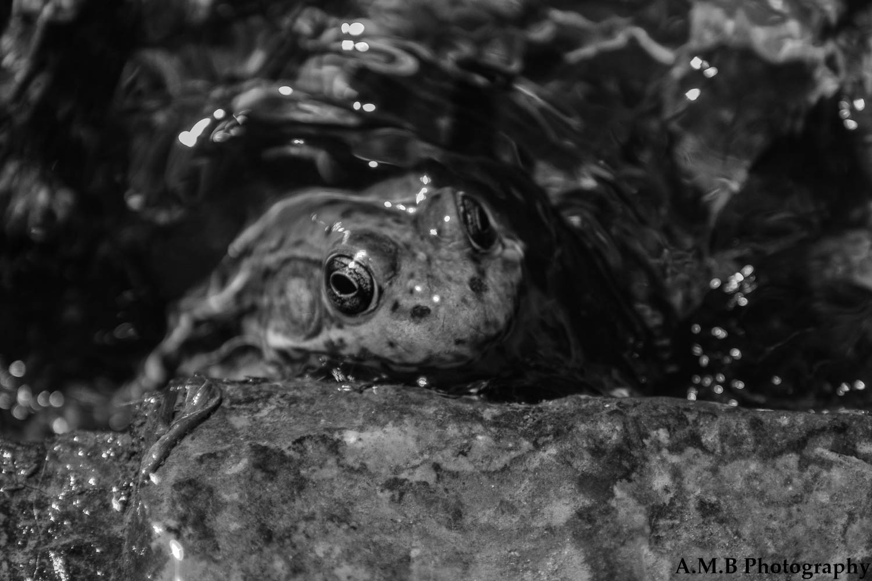 Matthiessen Frog III