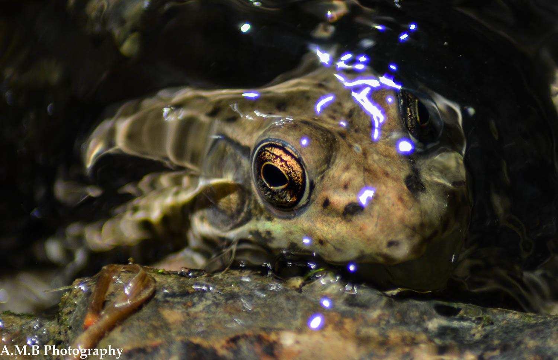 Matthiessen Frog V