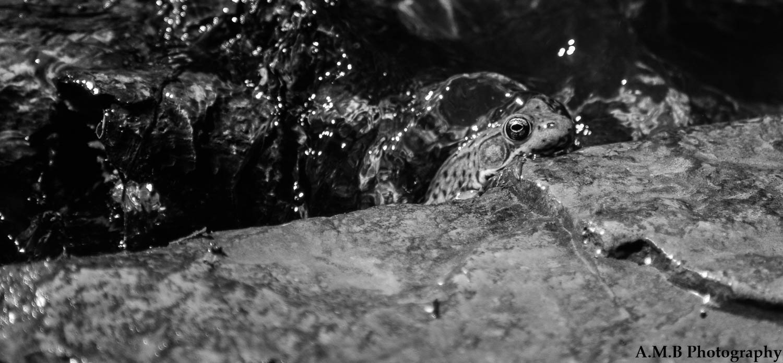 Matthiessen Frog VI