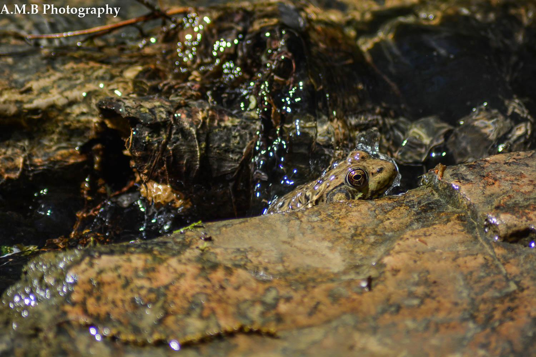 Matthiessen Frog