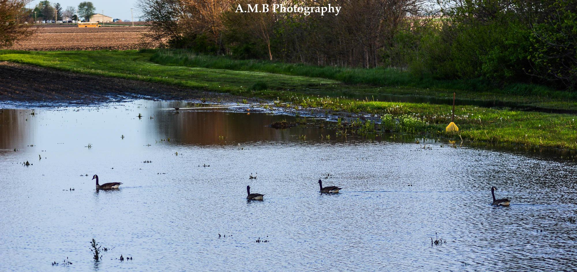 Morning Geese II