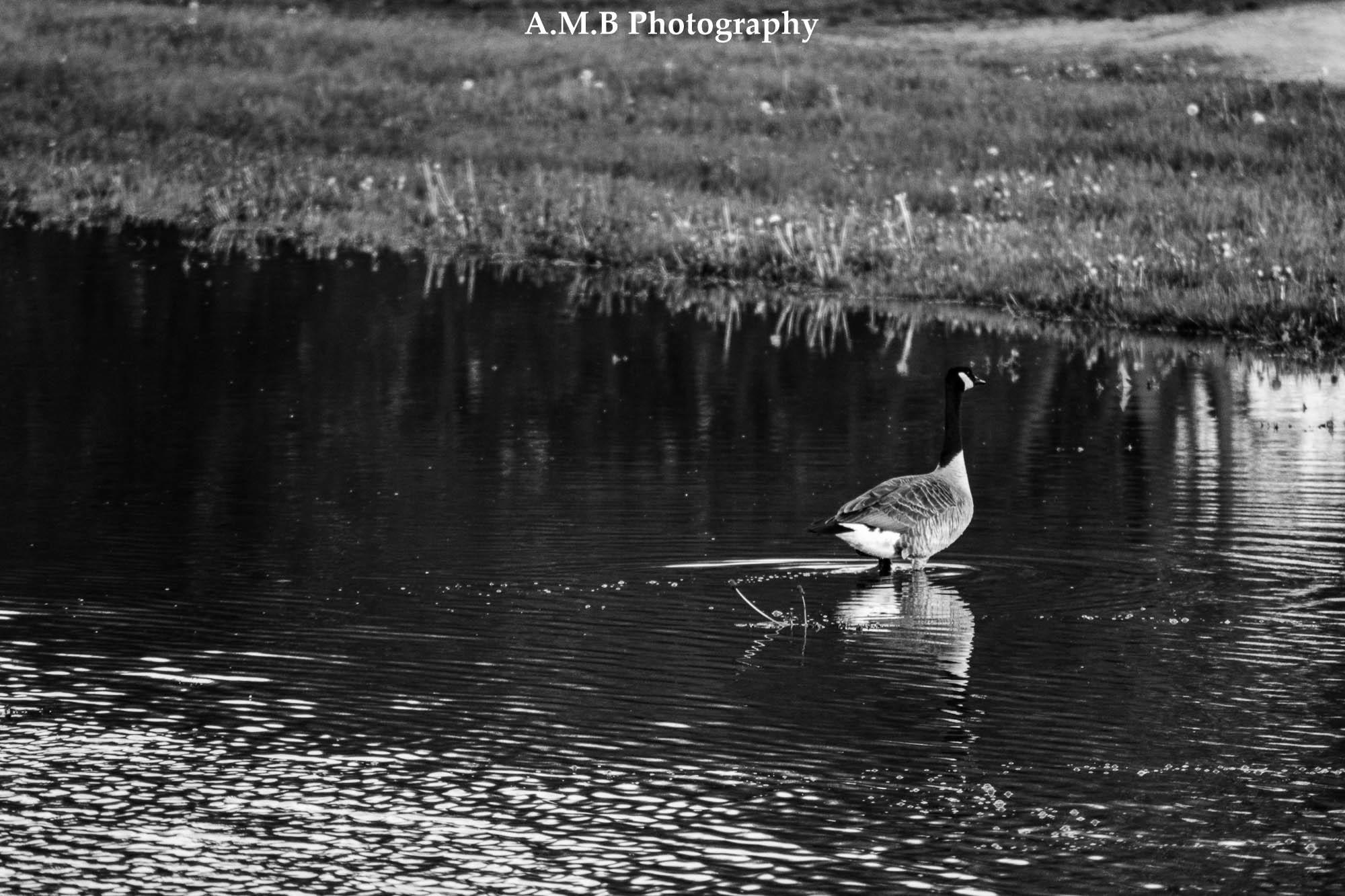 Morning Goose II