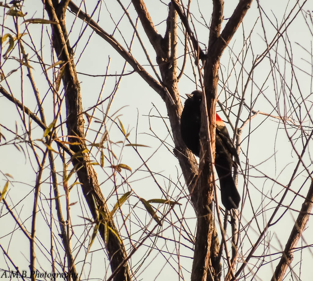 Morning Song - red-winged blackbird