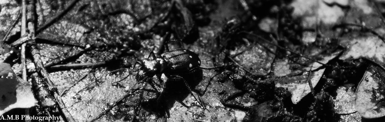 Tiger Beetle III