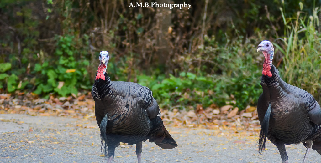 An early Saturday morning we drove to Peoria to capture the Fall colors and the Illinois River. On our way back to Dana we drove by the Forrest Park Nature Center, and saw these rowdy twin turkeys. They gobbling away as they walked toward us. :) Captured in October, 2017.