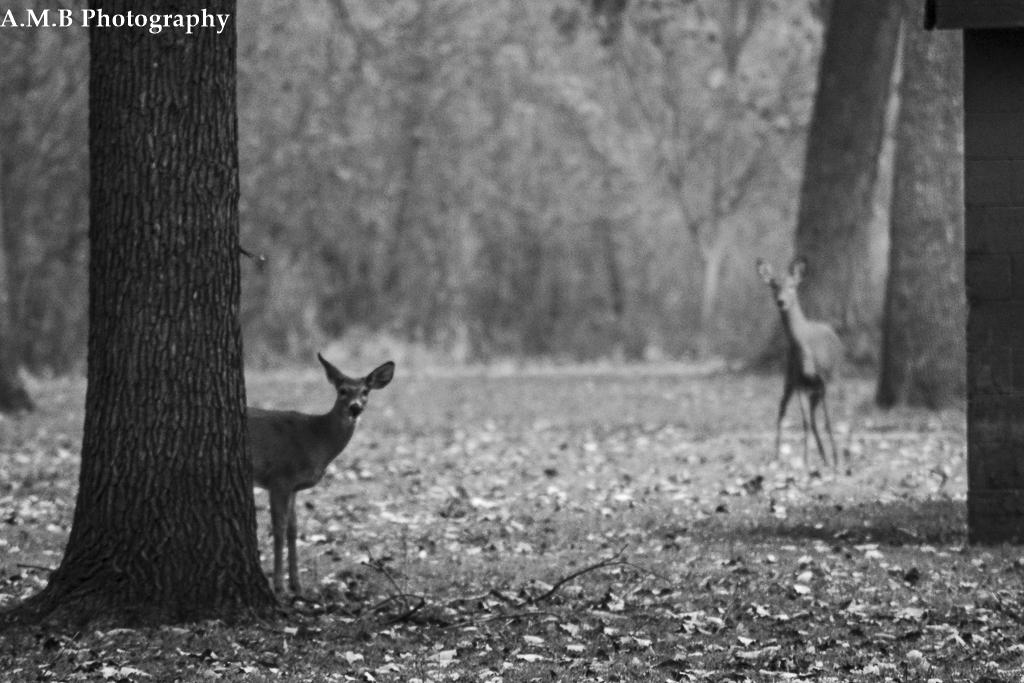 Young Deer II
