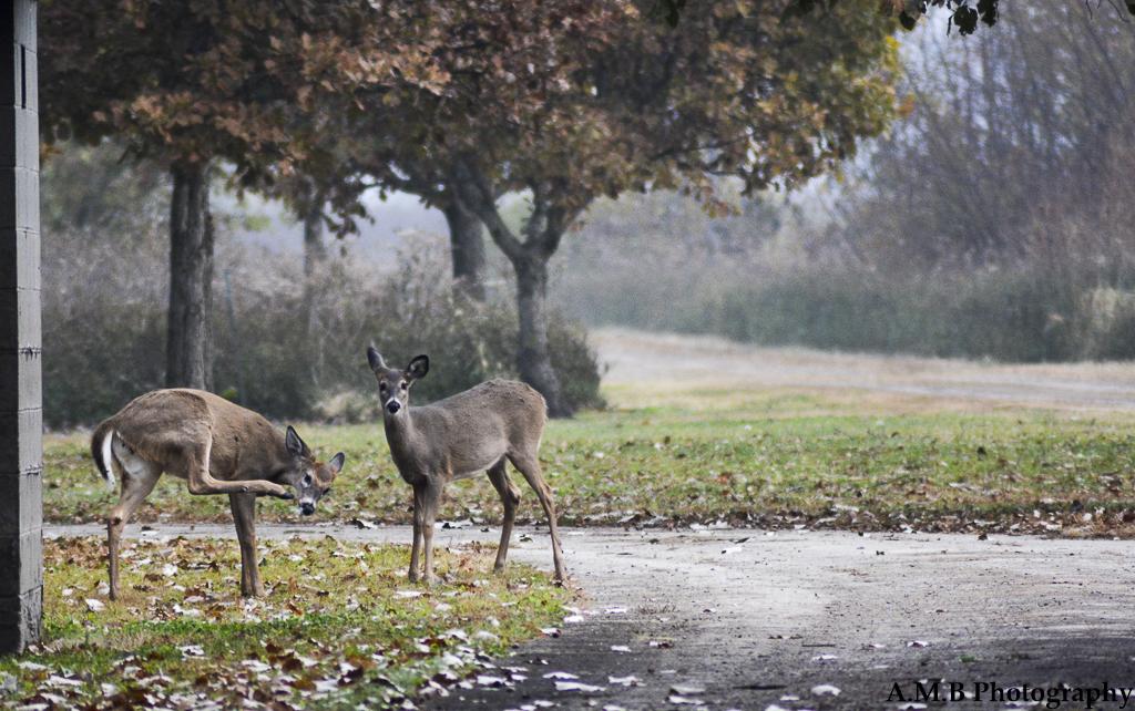 Young Deer IV