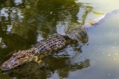 Baby Alligator II