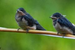 Barn Swallow Babies II