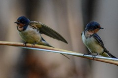 Barn Swallow Parents