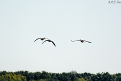 Canadian Geese in Busse Woods III